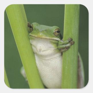 Green Treefrog, Hyla cinerea, adult, Lake Square Sticker