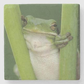 Green Treefrog, Hyla cinerea, adult, Lake Stone Coaster