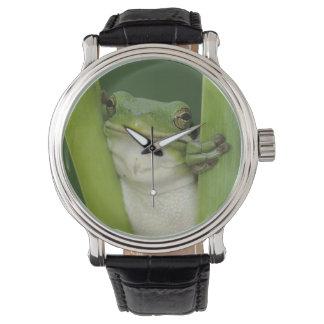 Green Treefrog, Hyla cinerea, adult, Lake Watch