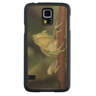 Green Treefrog, Hyla cinerea, adult on yellow Carved Maple Galaxy S5 Case
