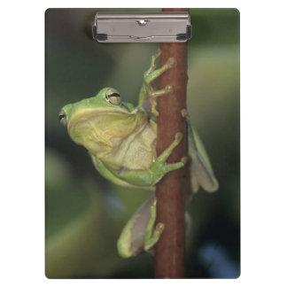 Green Treefrog, Hyla cinerea, adult on yellow Clipboard