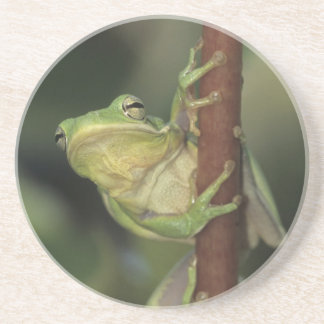 Green Treefrog, Hyla cinerea, adult on yellow Coaster