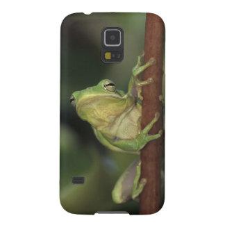 Green Treefrog, Hyla cinerea, adult on yellow Galaxy S5 Cover