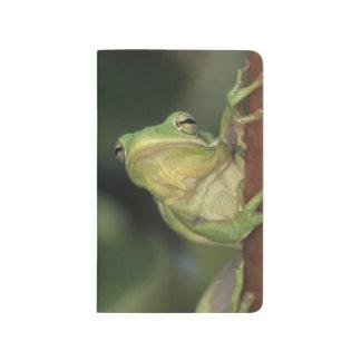 Green Treefrog, Hyla cinerea, adult on yellow Journal