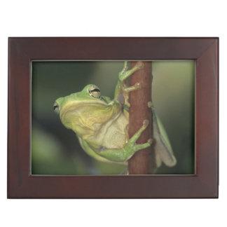 Green Treefrog, Hyla cinerea, adult on yellow Keepsake Box