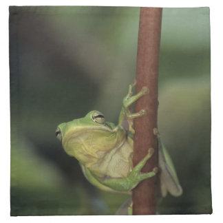Green Treefrog, Hyla cinerea, adult on yellow Napkin