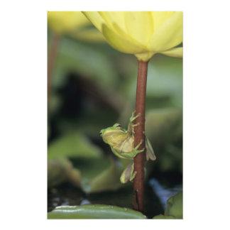 Green Treefrog, Hyla cinerea, adult on yellow Photograph