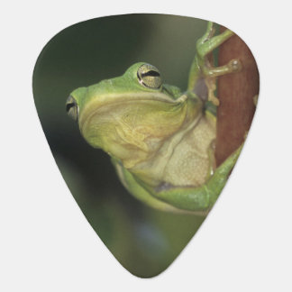 Green Treefrog, Hyla cinerea, adult on yellow Plectrum