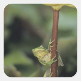 Green Treefrog Hyla cinerea adult on yellow Stickers