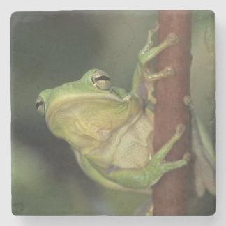 Green Treefrog, Hyla cinerea, adult on yellow Stone Coaster