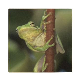 Green Treefrog, Hyla cinerea, adult on yellow Wood Coaster