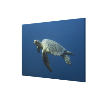 Green Turtle (Chelonia mydas agassisi) off Wolf Canvas Print