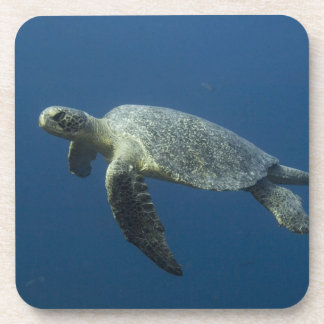 Green Turtle (Chelonia mydas agassisi) off Wolf Coasters