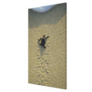 Green Turtle, (Chelonia mydas), hatchling Canvas Print