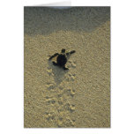Green Turtle, (Chelonia mydas), hatchling Cards