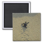 Green Turtle, (Chelonia mydas), hatchling Square Magnet