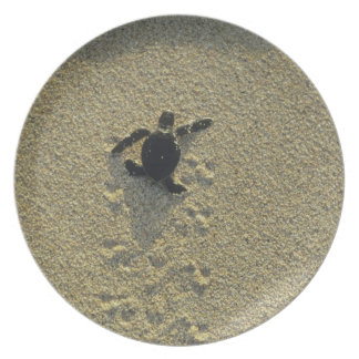 Green Turtle, (Chelonia mydas), hatchling Plate