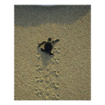 Green Turtle, (Chelonia mydas), hatchling Poster