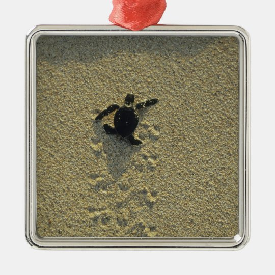 Green Turtle, (Chelonia mydas), hatchling Silver-Colored Square Decoration