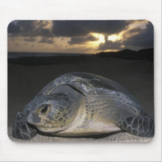 Green Turtle, (Chelonia mydas) nesting female on Mouse Pads