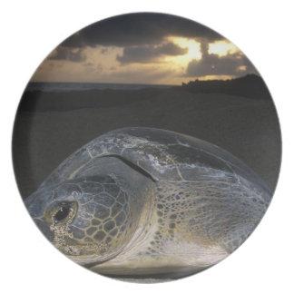 Green Turtle, (Chelonia mydas) nesting female on Plate