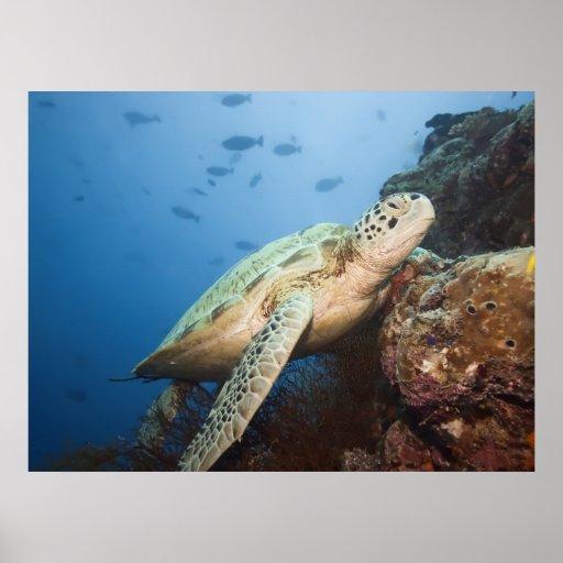 Green turtle underwater print