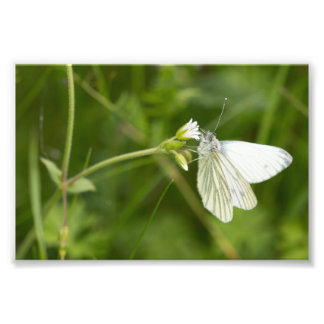 Green-veined White Butterfly Photo Print