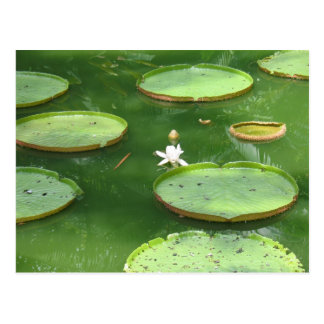 Green water lily postcard
