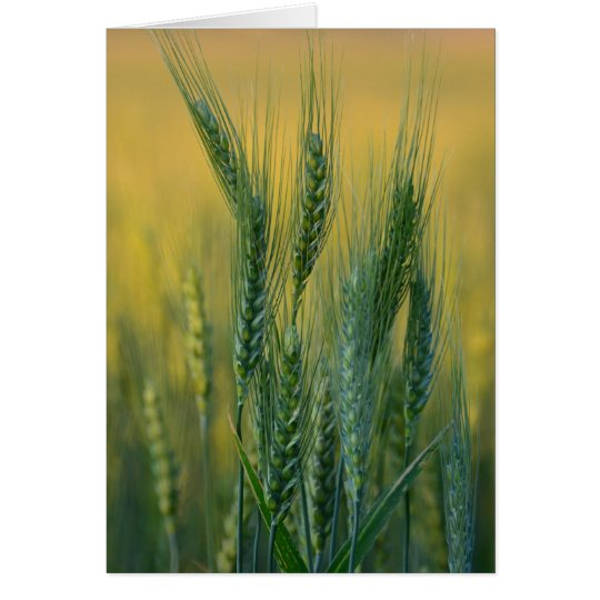 Green Wheat Note Card