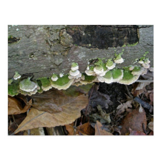 Green & White Striped Shelf Fungi on Log Postcard