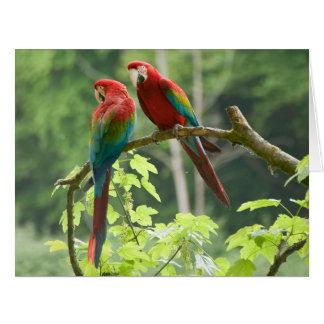 Green-winged Macaws Big Greeting Card