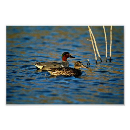 Green-winged teal -pair poster