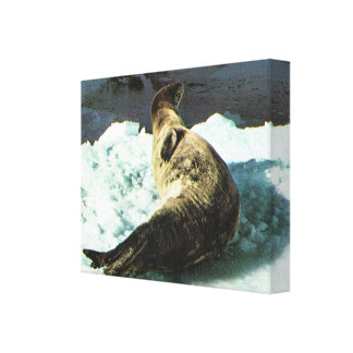 Greenland, Icebergs, basking seal Gallery Wrap Canvas