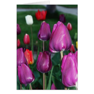 Greeting Card: Red, Purple, White & Yellow Tulips Greeting Card