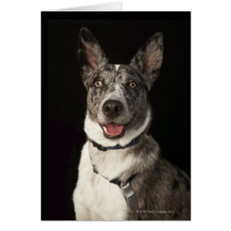 Grey and white Australian Shepherd with harness Card