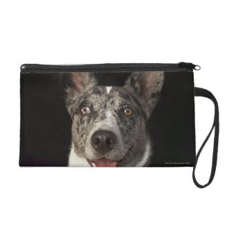Grey and white Australian Shepherd with harness Wristlet
