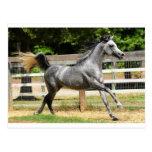 Grey Arabian Stallion Postcards