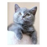 Grey British Shorthair Cat Postcard
