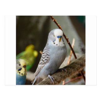 Grey Budgie Bird Post Cards
