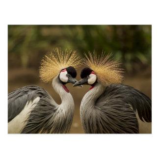 Grey Crowned Crane bird couple Postcard