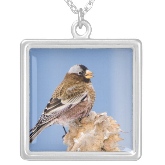 Grey-Crowned Rosy Finch in Cloquet, Minnesota Silver Plated Necklace