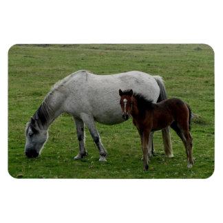 Grey Dartmoor Pony Mare And Foal Grazeing Rectangular Photo Magnet