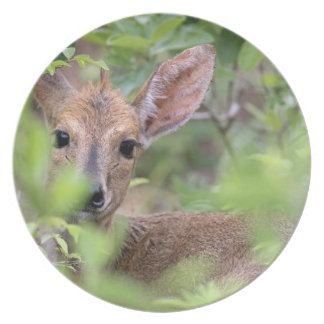 Grey Duiker (Sylvicapra grimmia) hiding in Dinner Plate