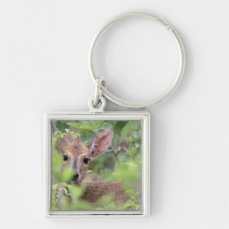Grey Duiker (Sylvicapra grimmia) hiding in Silver-Colored Square Key Ring