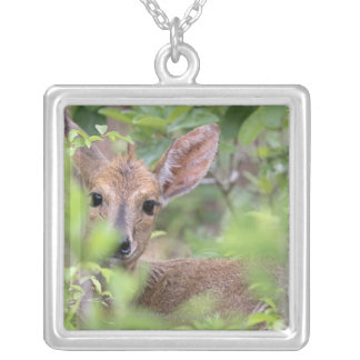 Grey Duiker (Sylvicapra grimmia) hiding in Silver Plated Necklace