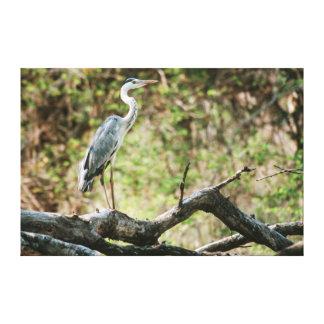 Grey Heron (Ardea Cinerea), South Africa Canvas Print