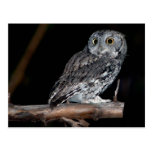Grey Morph Eastern Screech-Owl at Midnight