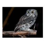 Grey Morph Eastern Screech-Owl at Midnight Postcard