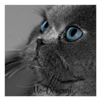 Grey Persian Cat with Blue Eyes Posters