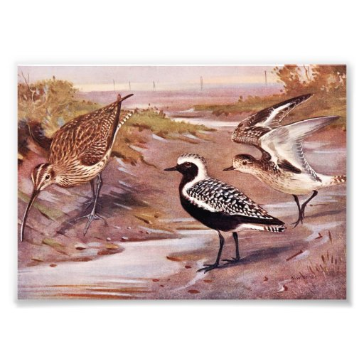 Grey Plovers and a Whimbrel Photo